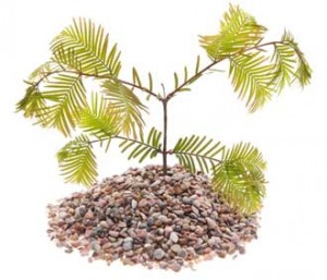 conifer-in-gravel